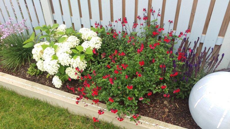 White Hydrangea - Red Salvia