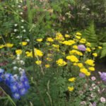 Stunning Asembalage of Nature...like a Great Painting ..Achillea(Yellow) and Aquilegia(yellow purple)........will Thrive in A Shady Garden...