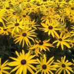 Rudbeckia.....just started to flower....dependable lovable....unbeatable..