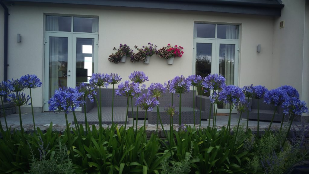 Agapanthus Maturing Nicely.....in a seaside garden. This is a tough location with really strong winds, constant watering lots of Seaweed Food and a Soil Condtioner applied every year, resulted in a, really Strong Showing.